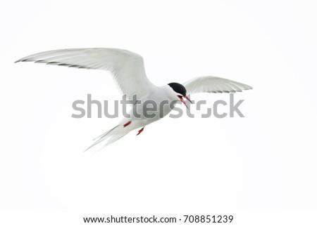 Arctic Tern - Sterna paradisaea, Shetlands, UK #708851239