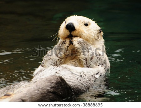 Arctic tundra white otter eating fish with contempt in water