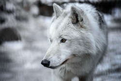 Arctic Wolf Canis lupus arctos aka Polar Wolf or White Wolf - Close-up portrait of this beautiful predator