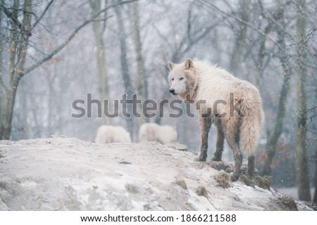Arctic wolf (Canis lupus arctos) standing on a forest hill during snowfall. This type of wolf is also known as the white wolf or polar wolf. Сток-фото ©