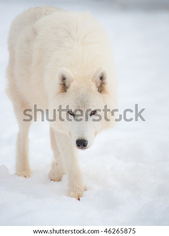 Arctic wolf (Canis lupus arctos) walks on snow in winter. Outdoor wildlife nature.