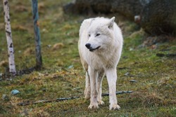Arctic wolf (Canis lupus tundrarum) beautiful animal in the forest