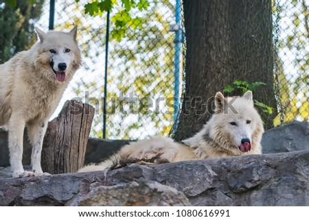 Arctic Wolf in captivity  #1080616991