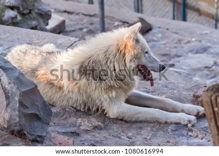 Arctic Wolf in captivity  #1080616994