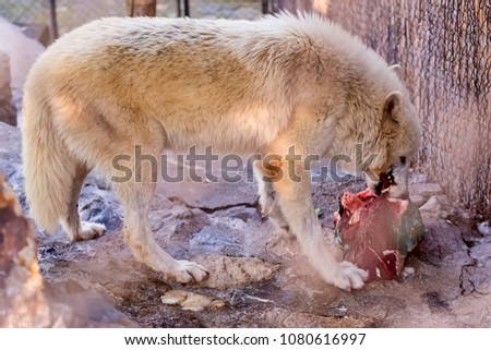 Arctic Wolf in captivity  #1080616997