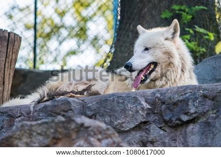 Arctic Wolf in captivity  #1080617000