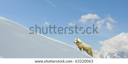 Arctic wolf in the mountains above a bank of snow
