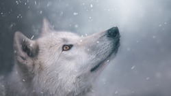 Arctic wolf in winter. Cool shades.