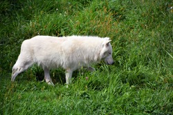 Arctic Wolf or Polar White Wolf, is a subspecies of the Gray Wolf, a mammal of the family Canidae. Arctic Wolves inhabit the Canadian Arctic, Alaska and  Greenland.