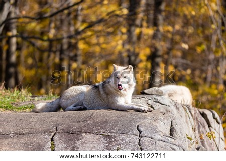 Arctic wolf, pictured at rest in late autumn, north Quebec, Canada.