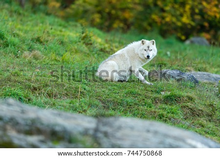 Arctic wolf, pictured in late autumn, north Quebec, Canada.