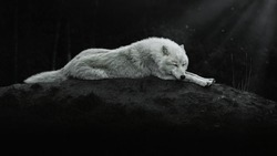 Arctic wolf sleeps at night on a hill in the moonlight, Canis lupus arctos, Polar wolf or white wolf