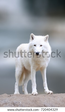 Arctic wolves in the winter. Close arctic wolf on winter blured background