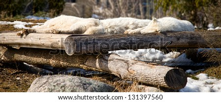 Arctic wolves sleeping on logs