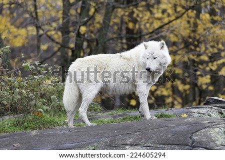 Arctic Wolves (Wolf)