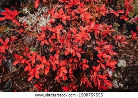 Arctous alpina close up in autumn tundra in warm bright colors, Arctic