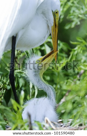 ardea alba, great egret, orlando, florida