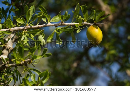 argan tree in Morocco - stock photo