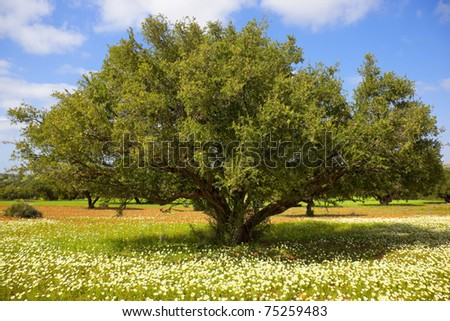 Argan tree with nuts on branches. Concept for the healthy argan oil that can be used for culinary purpose, massage oil, and cosmetics.