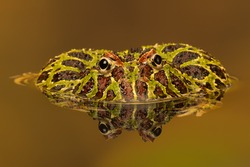 Argentinian Horned Frog reflected in water/ Argentinian Horned Frog/ Argentinian Horned Frog (Ceratophrys Ornata)