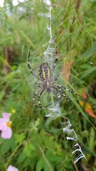 Argiope bruennichi is a large black and yellow spider building a nest to trap prey. Blur background