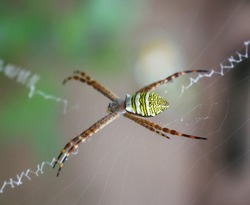 Argiope bruennichi on its web for trapping insects. The web is placed between the plants at a height of no more than 30 cm from the ground.Some of the cobwebs form a white