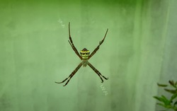 Argiope keyserlingi spider waiting on the web used to trap prey, Body is large, top view patterns on the stomach or bottom in yellow, white and black.