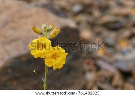Argylia Radiata, native flower of the Atacama desert, better known as Velvet or Flower of the Jote