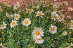Argyranthemum frutescens, Paris daisy, marguerite, marguerite daisy. Flowers for balcony, decor, room, park, garden. Close up. Flower background
