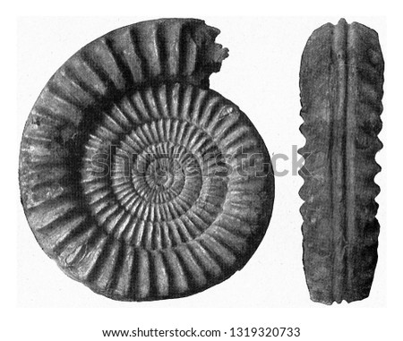 Arietites, Lower Jurassic Ammonite of N. Germany, vintage engraved illustration. From the Universe and Humanity, 1910.