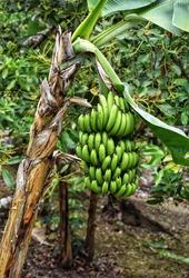 Aripo, Trinidad and Tobago-April 19, 2019: A bunch of banana plantains in Aripo, Trinidad