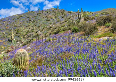 Arizona Barrel Cactus surrounded by Coulter's lupine.
