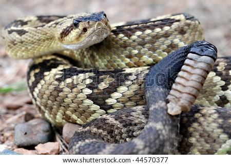 Arizona blacktail rattlesnake
