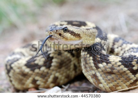 Arizona blacktail rattlesnake sticking out its tongue don't tread on me