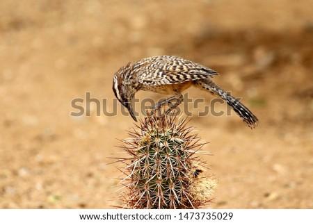 Arizona Cactus Wren on Cactus #1473735029