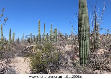 Arizona Desert Landscape with Trail in Saguaro National Park West