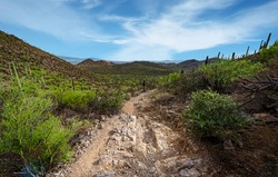 Arizona landscape rugged hiking trail lined with saguaro cactus in Tucson Mountain Park on the Yetman Trail.