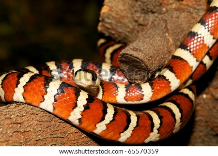 Arizona Mountain King Snake-Lampropeltic pyromelana, coiled on a tree branch.