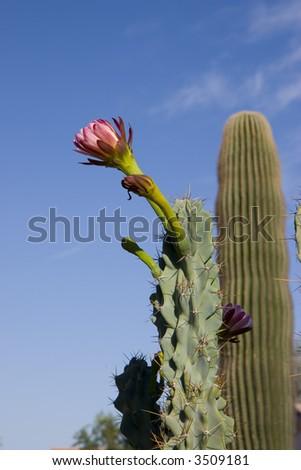 Arizona Organ Pipe Catus Flower (Stenocereus thurberi species)