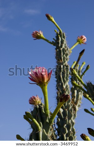 Arizona Organ Pipe Catus Flower (Stenocereus thurberi species); on Blue Sky background