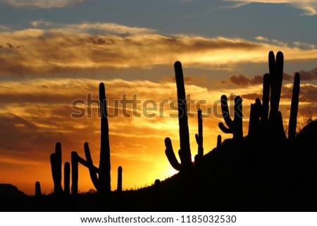Arizona's Saguaro cactus