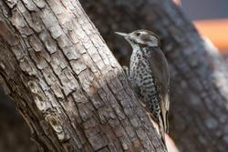Arizona Woodpecker female perched on tree trunk