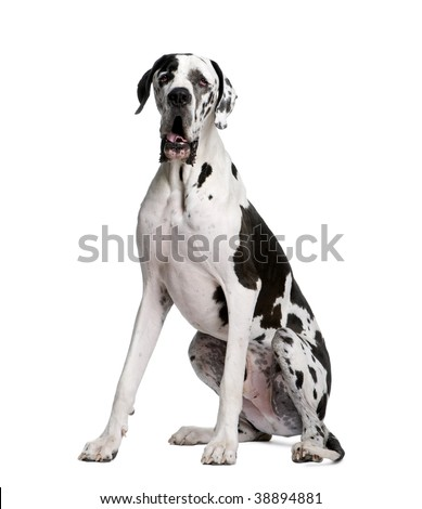 Arlequin Great Dane, 2 years old, sitting in front of white background, studio shot
