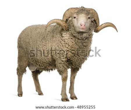 Stock Photo Arles Merino sheep, ram, 3 years old, standing in front of white background