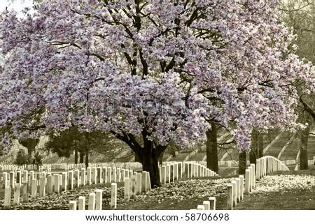 Arlington Natoinal Cemetery. Cherri blossom.