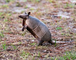 Armadillo animal close-up profile view in the field enjoying its surrounding and environment while exposing its body, head, eyes, ears, tail