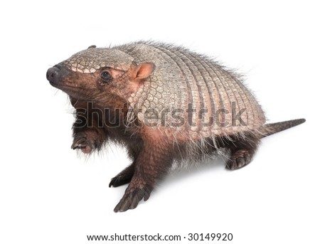 Armadillo - Dasypodidae - Cingulata in front of a white background