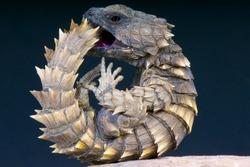 Armadillo girdled lizard / Cordylus cataphractus,South Africa