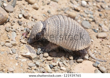 Armadillo in Patagonia