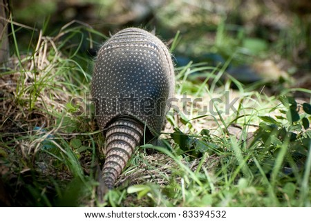 Armadillo near Everglades - stock photo